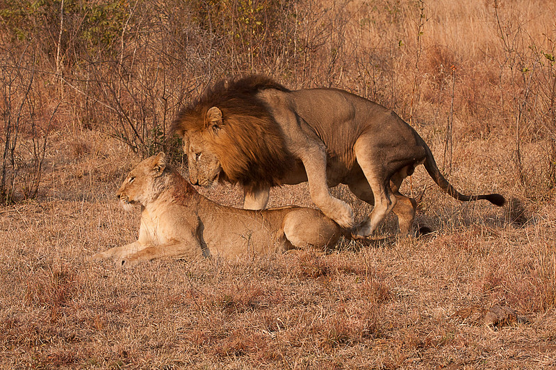 Lions at Foreplay