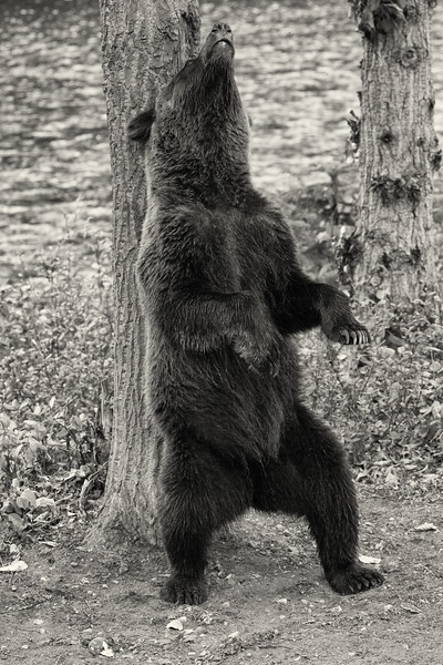 BC-Grizzly-Bears-.jpg