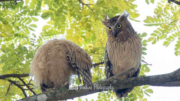 2019-01-04 Buffy Fish Owl at SBG