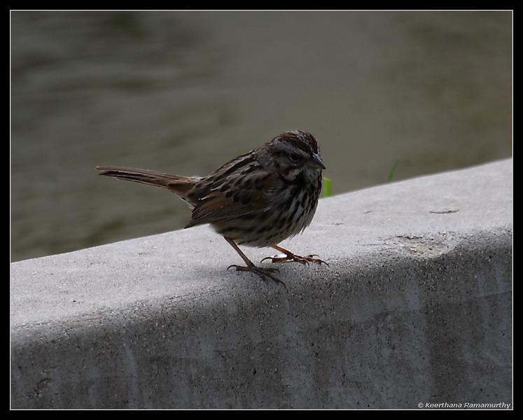 Song Sparrow, El Camino Memorial Park, San Diego County, California, February 2009