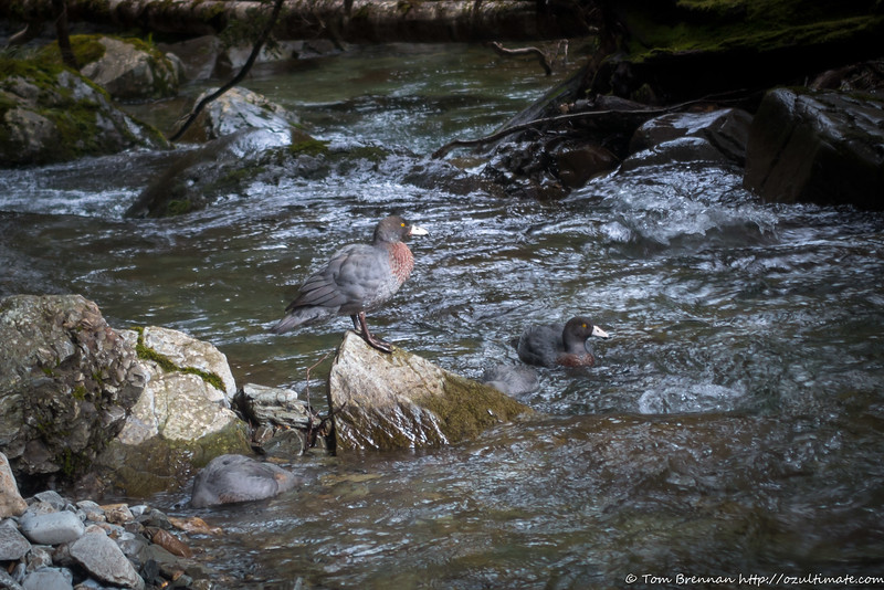 Family of Whio (Blue Duck) - can you spot all four?