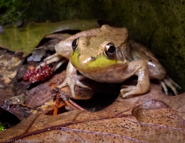 Eyeing the Frog.jpg