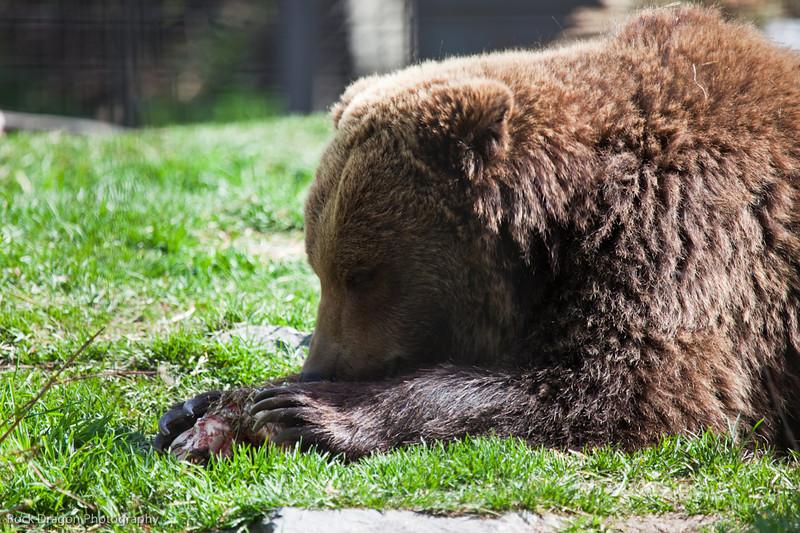 Grizzly Bear Calgary Zoo