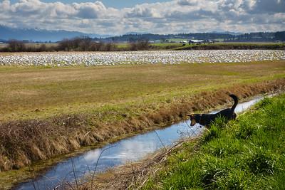 Edison Snow Geese