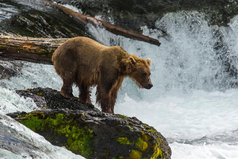 Katmai Bears-135.jpg