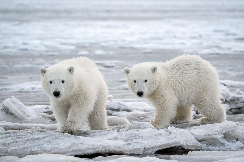 Alaska Polar Bear Photo Workshop-24.jpg