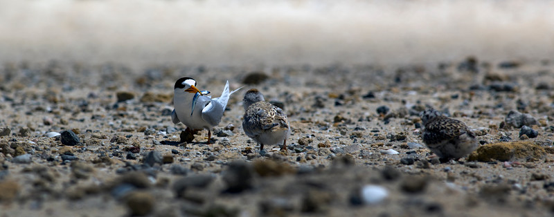 The Fairy Terns of Fremantle, Western Australia