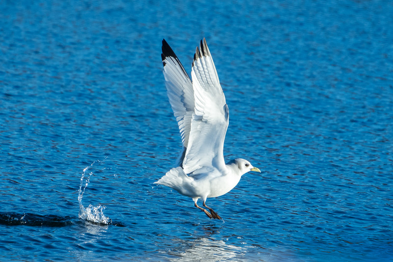 Black-legged Kittiwake Taking Off From Water