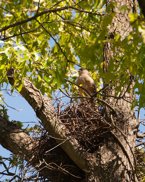 Cooper's Hawk Nest 3486