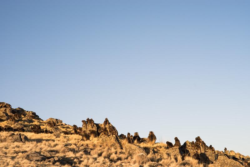 Geladas : Simien Mountains