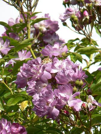 Rosa 'Veilchenblau'.jpg