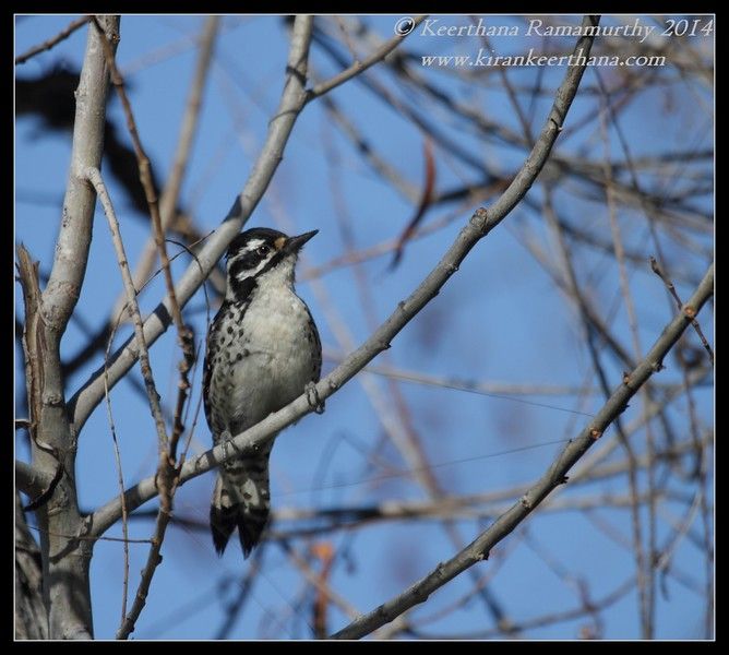 Nuttall's Woodpecker Female, Santee Lakes, San Diego County, California, February 2014