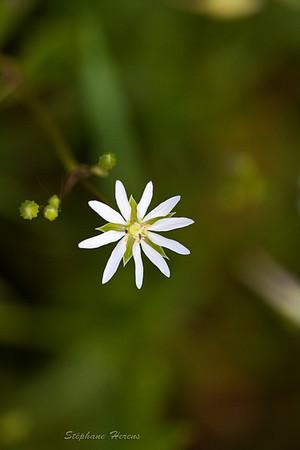 Stellaires (Stellaria)