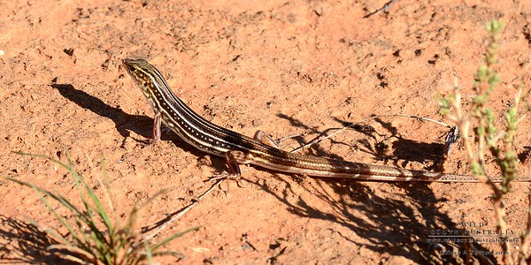 Ctenotus regius  (Regal Striped Skink)
