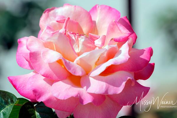 Mable's Rose Garden