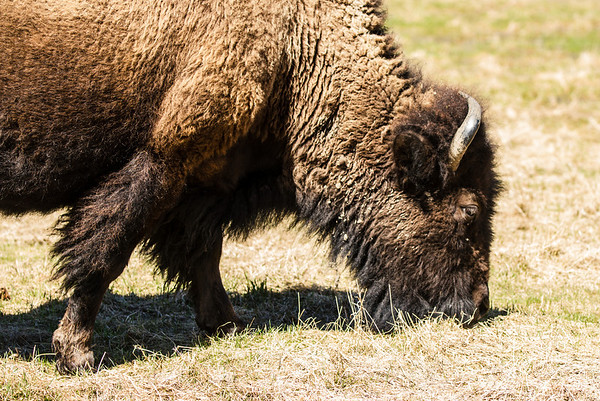 Elk Island National Park - Bison - MAy5, 2013