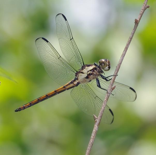 Libellula incesta (Slaty Skimmer), GA - male