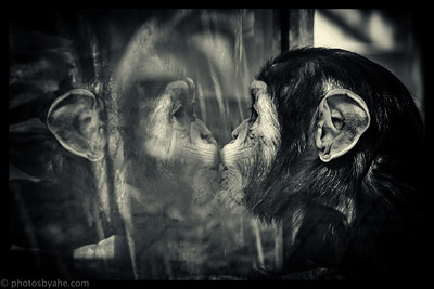 Spin-Off til dyrene i Zoo - Chimpanserne