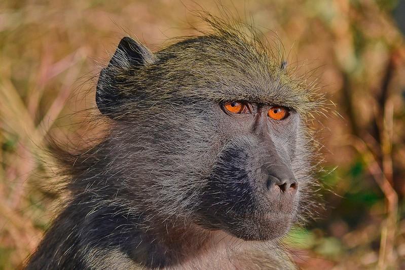 Baboon Younster eyes.jpg