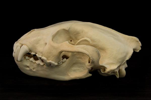 Wolverine (Gulo gulo) Mustelidae