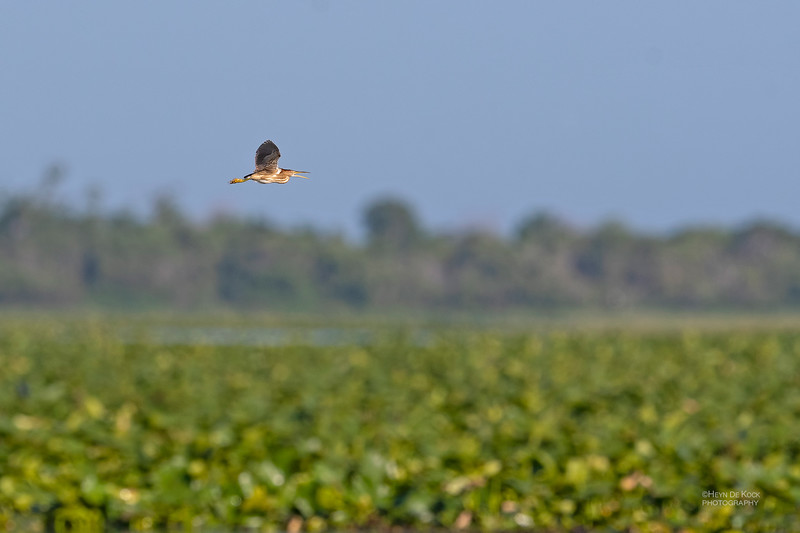 Least Bittern, Kissimmee Swamp, Kenansville, FL, US, May 2018-2.jpg