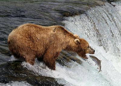 ALASKA 2014 - BROOKS FALLS