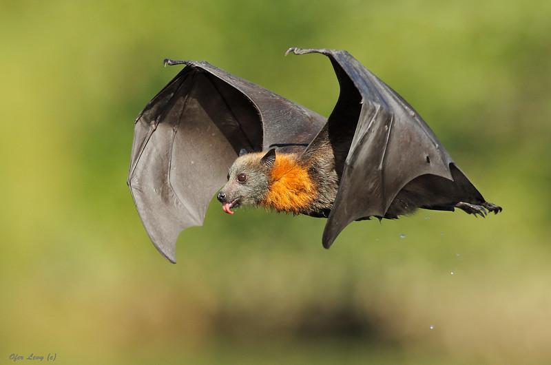 Grey-headed Flying Fox 8.jpg