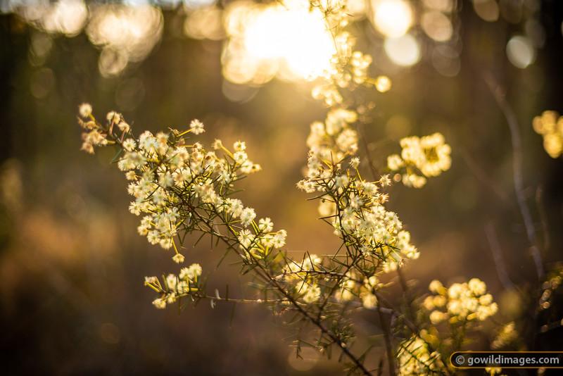 Wattle Gold