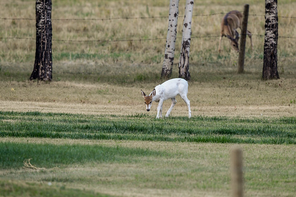 9-6-17 Piebald White-tailed Deer (850)