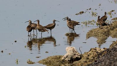 STA Birds 3 - Shorebirds