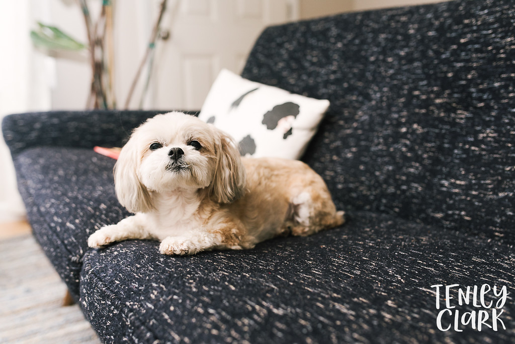 Cute dog at Lifestyle in home family photography session in Fremont, CA by Tenley Clark Photography.
