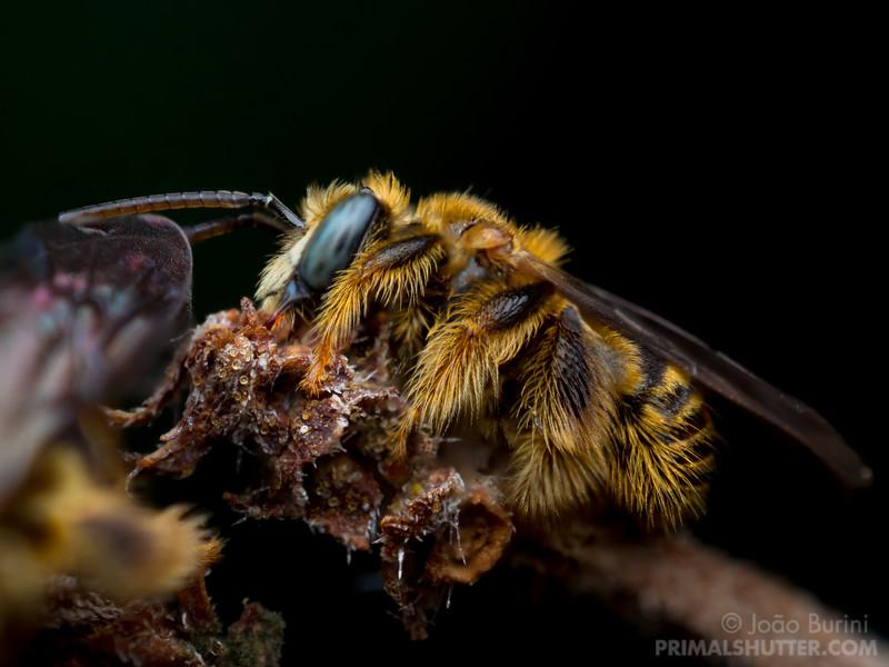 Brazilian wild bee sleeping
