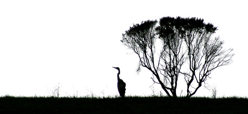 Great blue heron and bush silhouette. Taken at Garin Regional Park, Hayward, CA.
