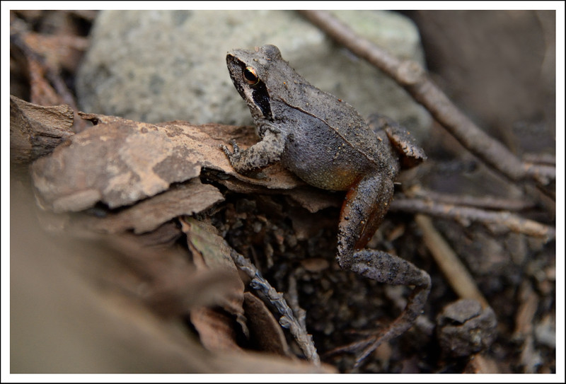 A forest toad