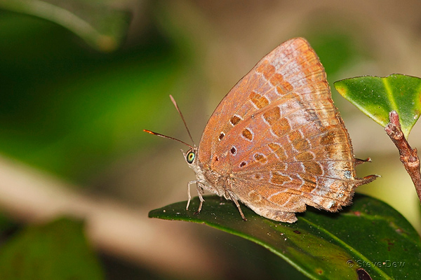 Blues - Lycaenidae