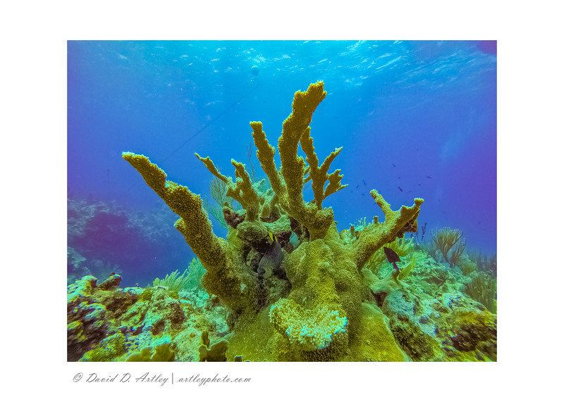 Elkhorn Coral, East End, Grand Cayman Island
