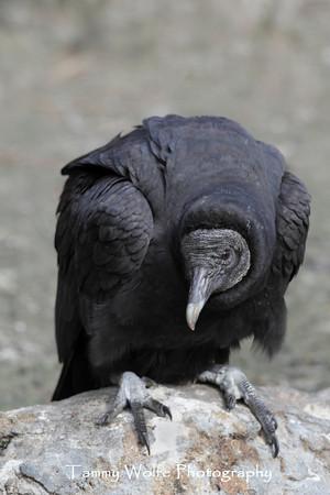 Vulture, Black