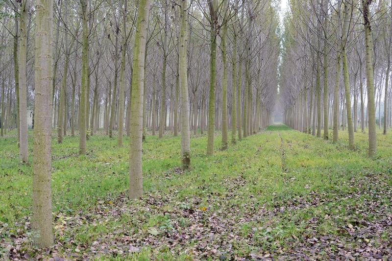 Poplars - Lido Po, Guastalla, Reggio Emilia, Italy - October 8, 2014
