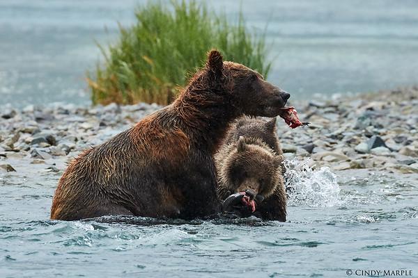 Alaska Bears 2015