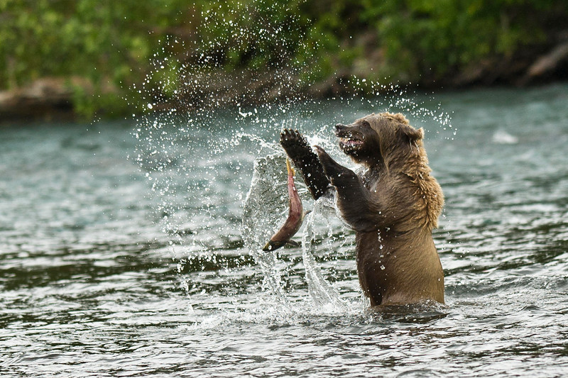 Brown Bear After One Slippery Salmon Russian River Cooper Landing, Alaska © 2012