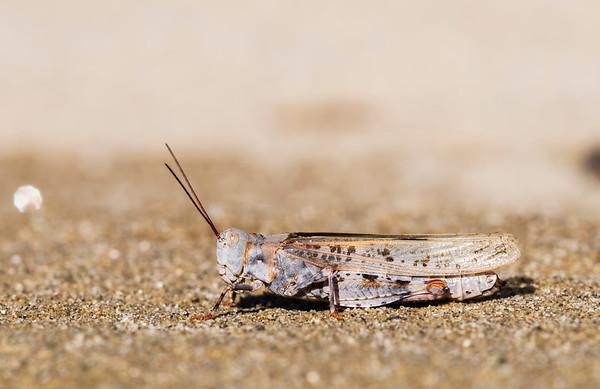Trimerotropis agrestis (Toothed Dune Grasshopper)
