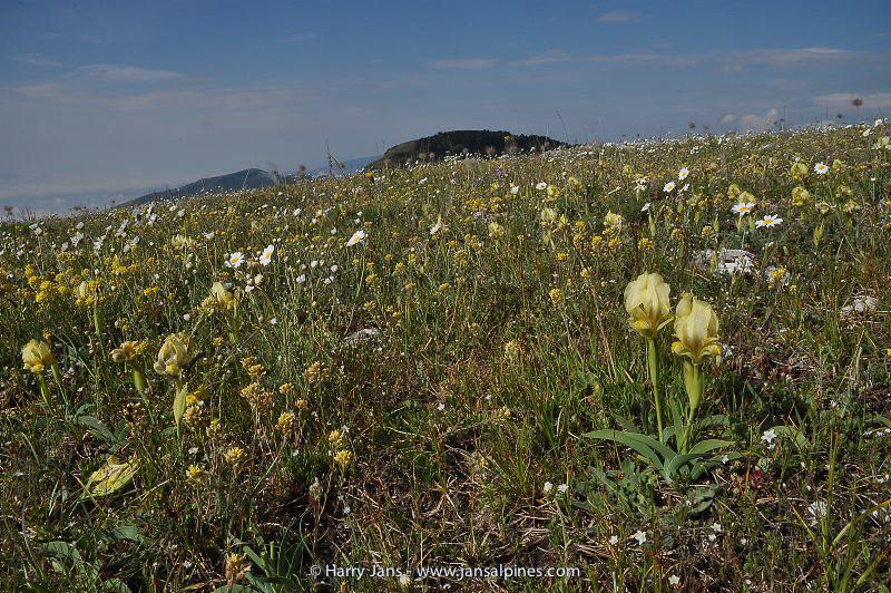 Iris reichenbachii