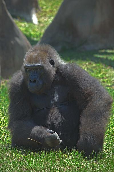 Gorila1_HDR2.jpg