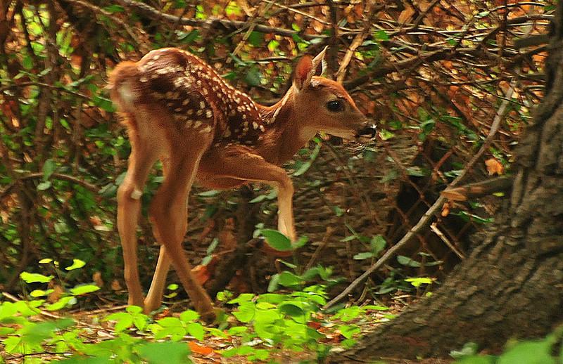 Deer 07-08-2012 17.JPG