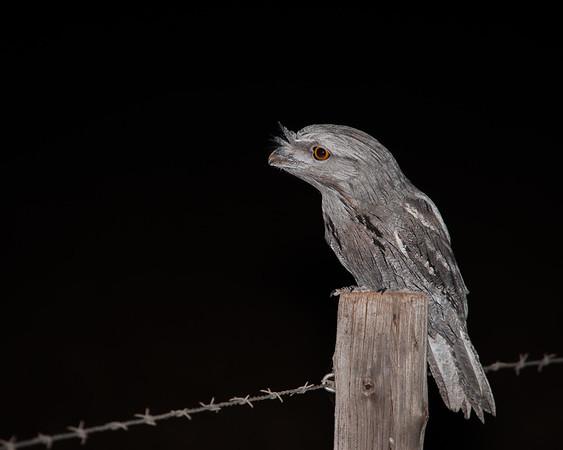 Nightjars, Frogmouths and Hummingbirds