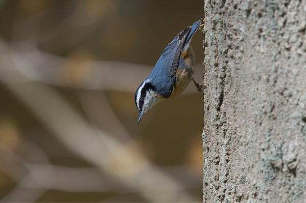 NUTHATCH, CHICKADEES, WRENS, CREEPER, JAY