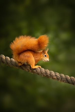 2020 - Red Squirrel 012