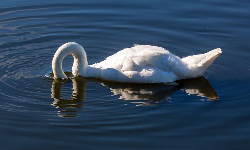 Tundra Swan fishing