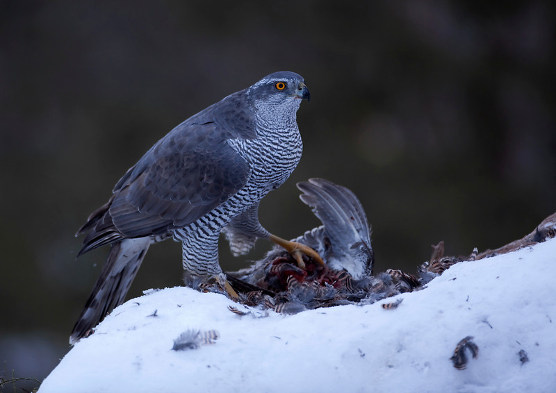 Goshawk Norway 1.jpg