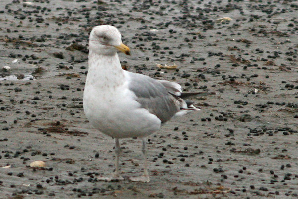 Gulls, Jaegaers, Skimmers, Skuas, and Terns